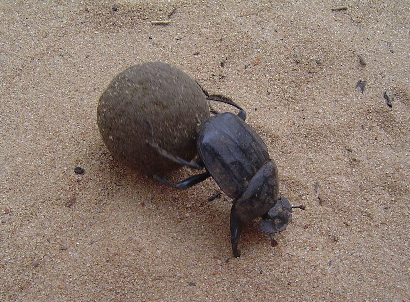 Dung Beetle Live - Bing images Q The Dung Beetle